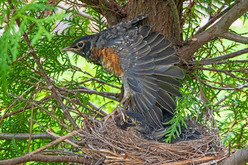 Robin Nest 012