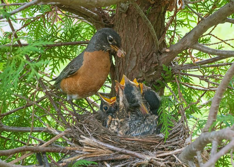 Robin Nest 006