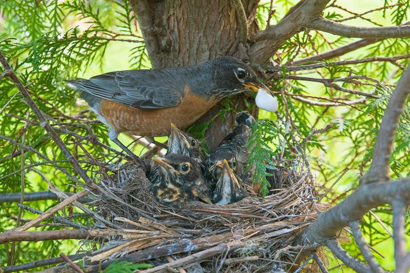 Robin Nest 011