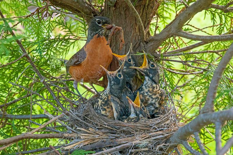 Robin Nest 009