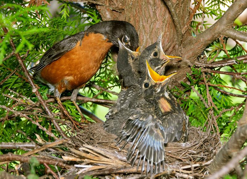 Robin Nest 008
