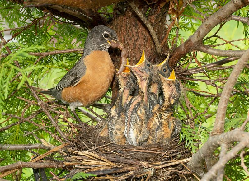Robin Nest 004
