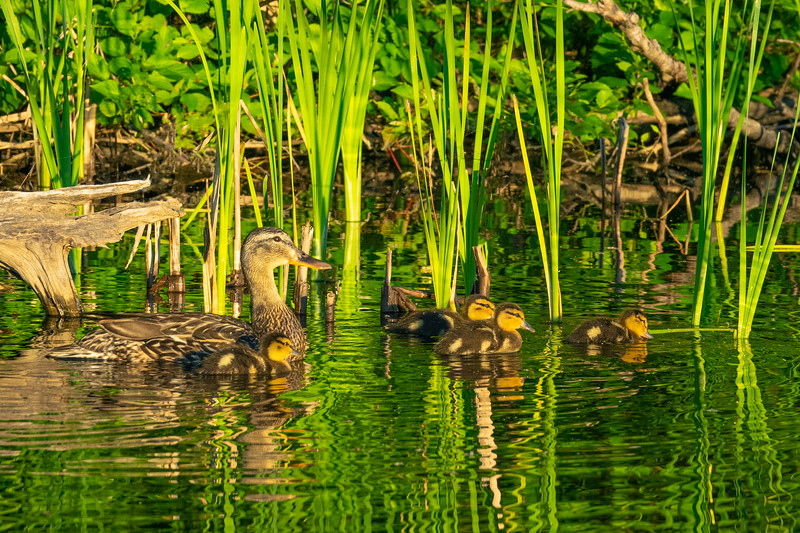 Mallard Ducklings 001