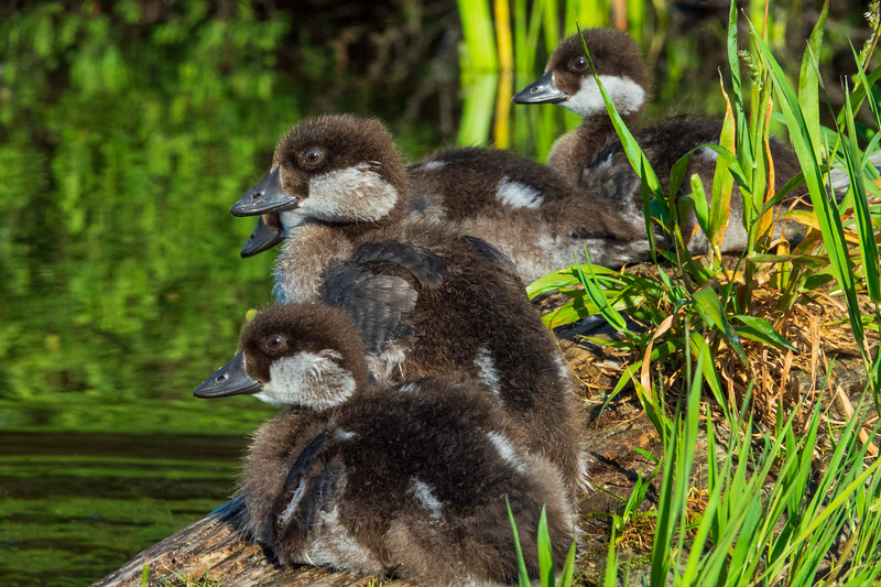Common Goldeneye Ducklings 002