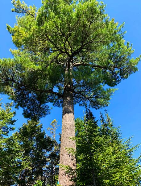 White Pine 002