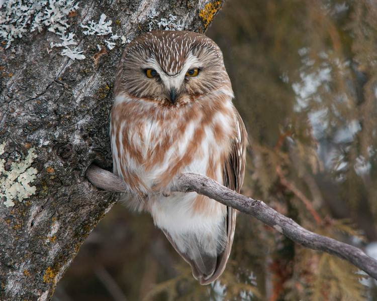 Northern Saw-whet Owl 001