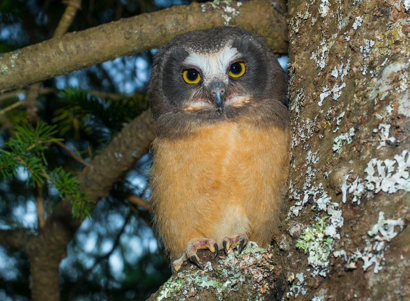Northern Saw-whet Owlet Owl 006