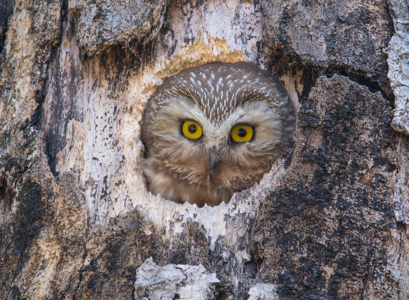 Northern Saw-whet Owl 004
