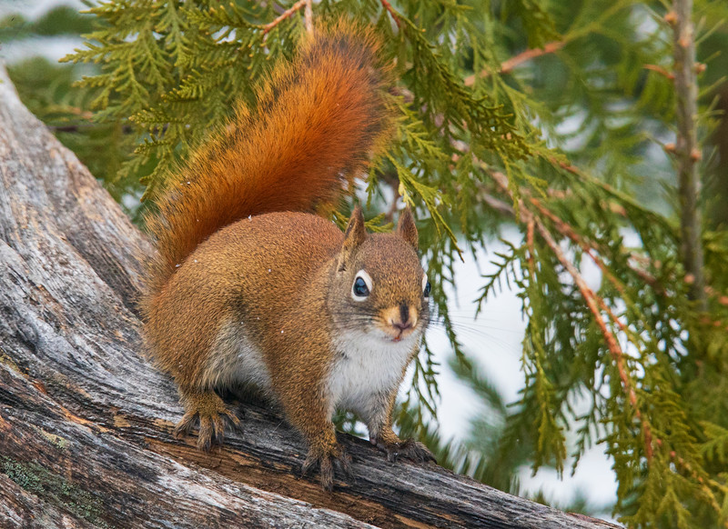 Red Squirrel 001