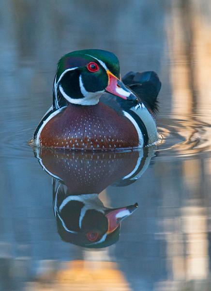 Wood Duck 002