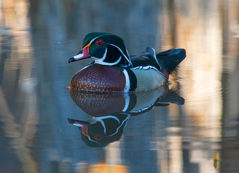 Wood Duck 001
