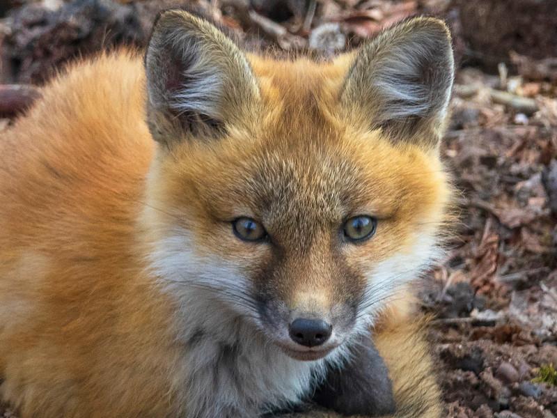 Red Fox Kits 001