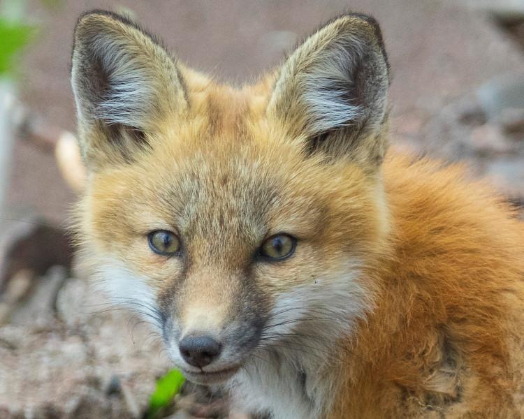 Red Fox Kits 003