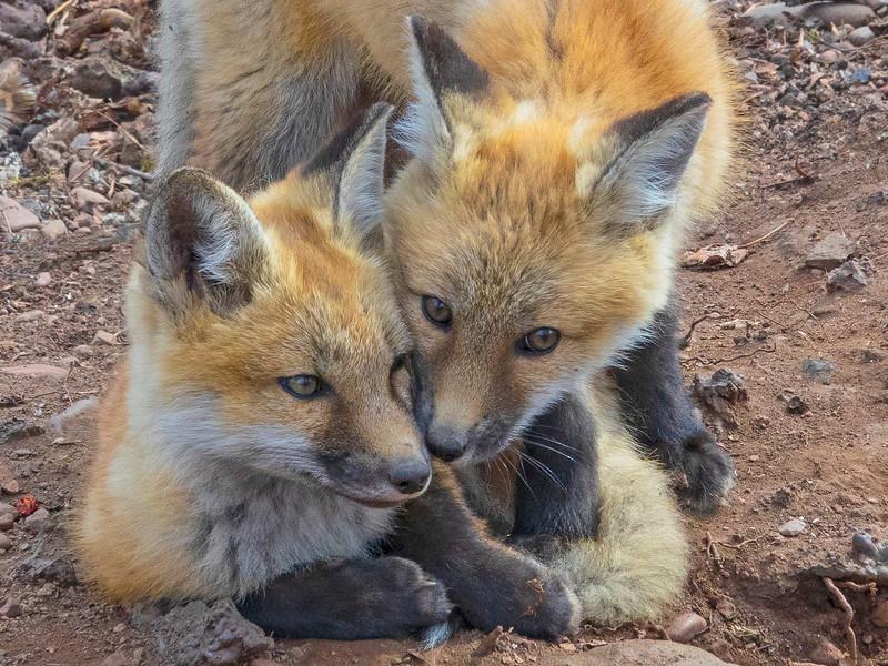 Red Fox Kits 004