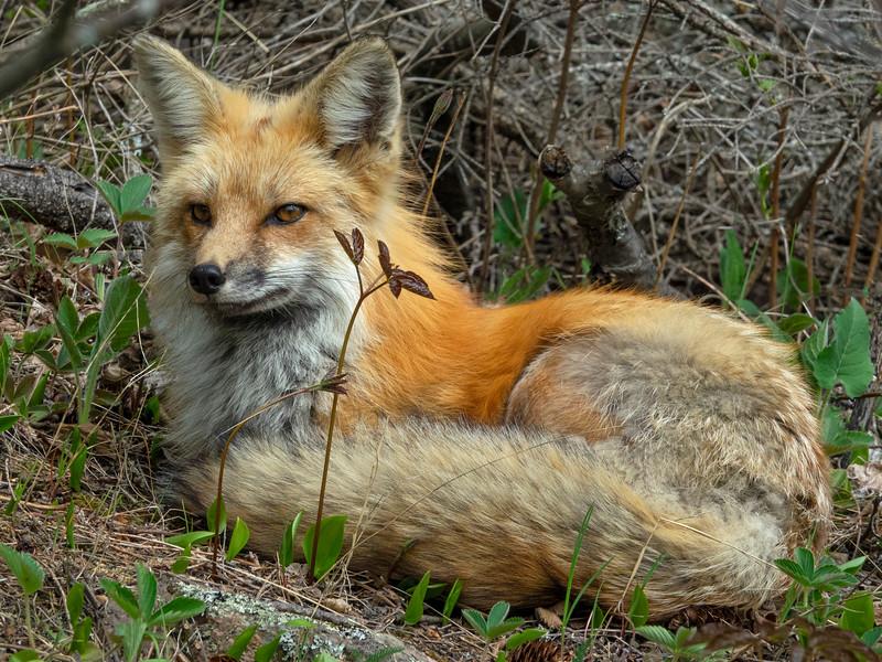 Red Fox Kits 010