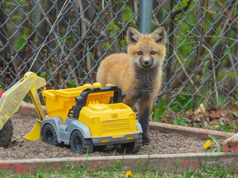 Red Fox Kits 009