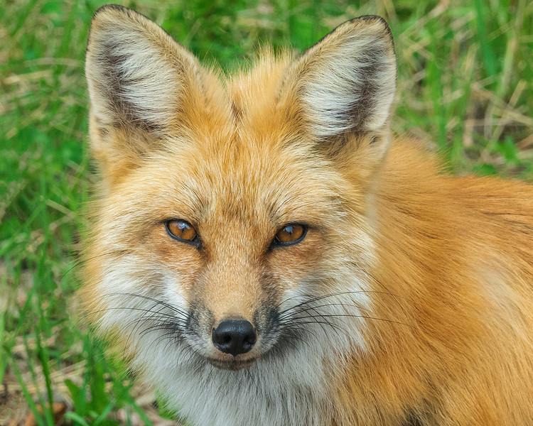 Red Fox KIts 007