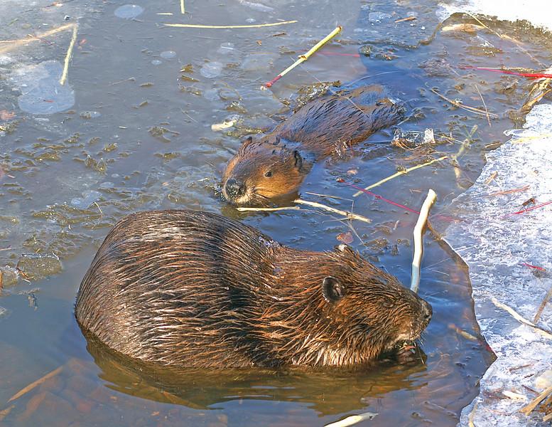 Beaver Cuttings 003