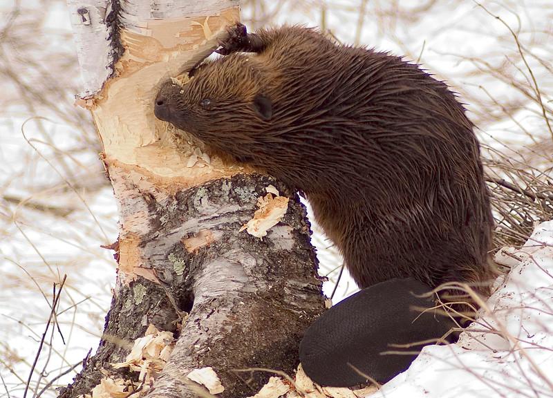 Beaver Cuttings 002
