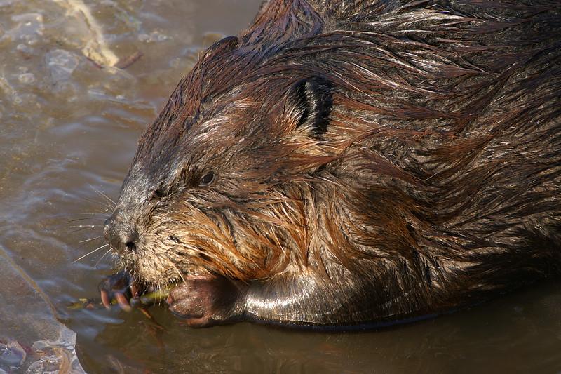 Beaver Cuttings 005