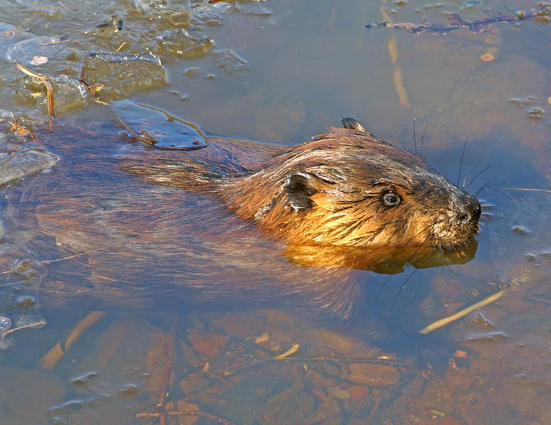 Beaver Cuttings 004