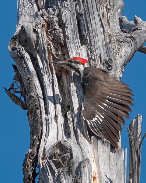 Pileated Woodpecker 001