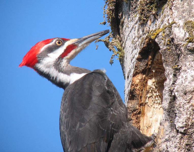 Pileated Woodpecker 005