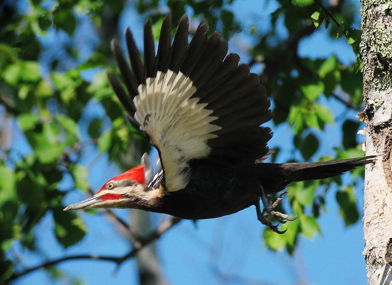 Pileated Woodpecker 009