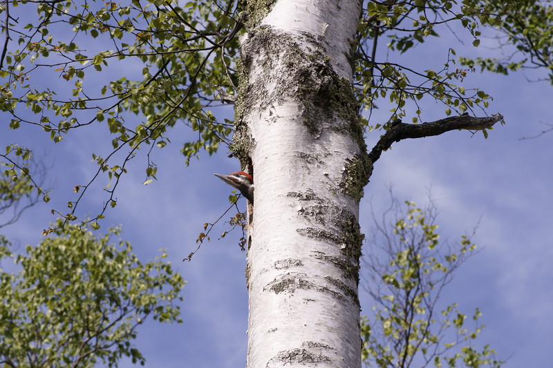 Pileated Woodpecker 008