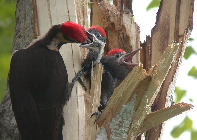 Pileated Woodpecker 007