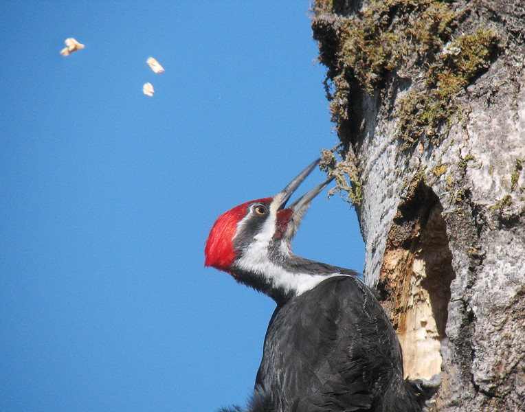 Pileated Woodpecker 006