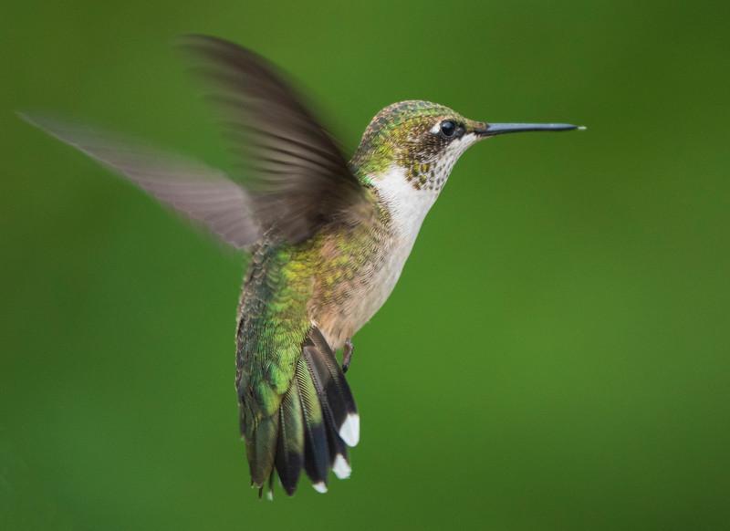 Ruby-throated Hummingbird 004