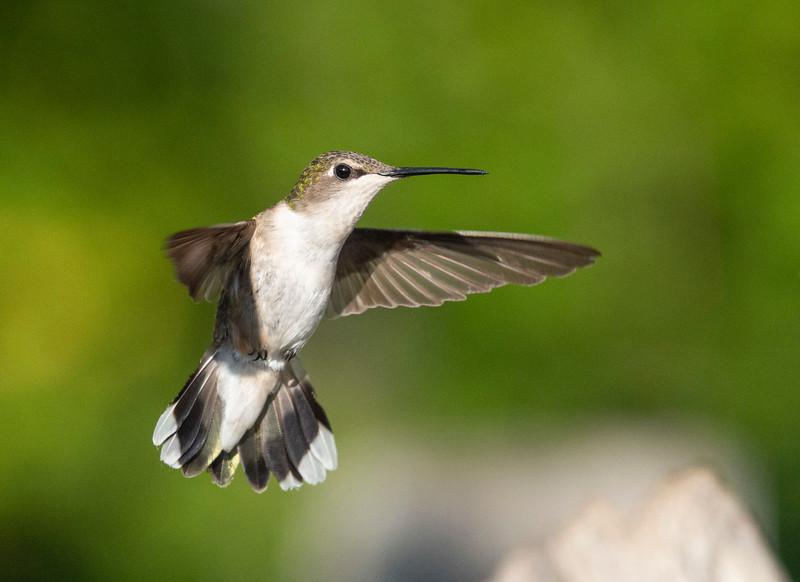 Ruby-throated Hummingbird 003