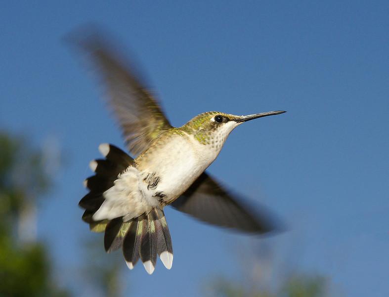 Ruby-throated Hummingbird 005