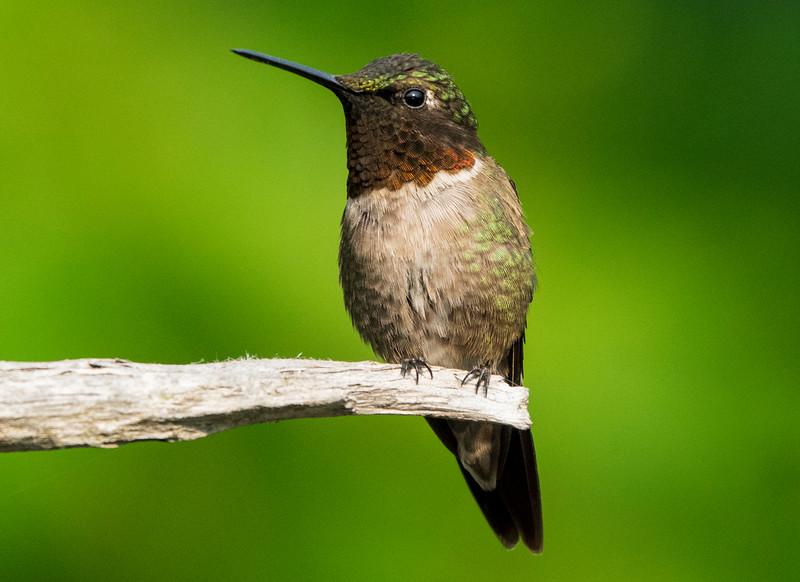 Ruby-throated Hummingbird 006