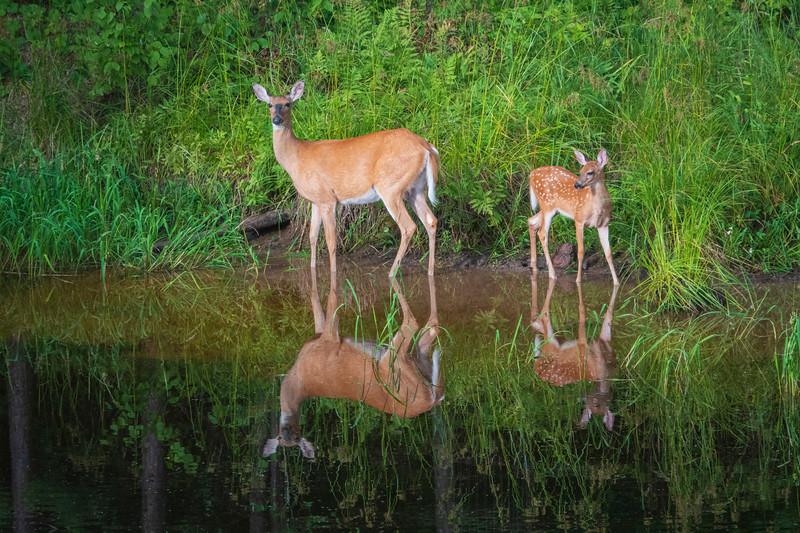 White-tailed Deer 005