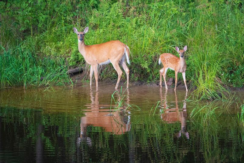 White-tailed Deer 001