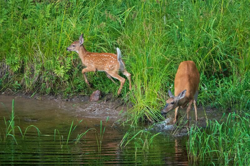 White-tailed Deer 003