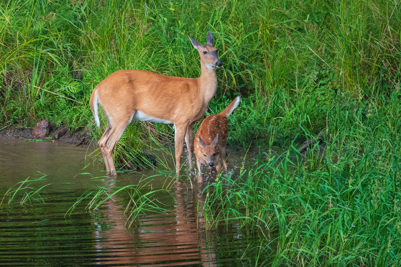 White-tailed Deer 002