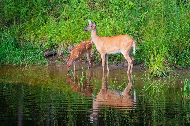 White-tailed Deer 004