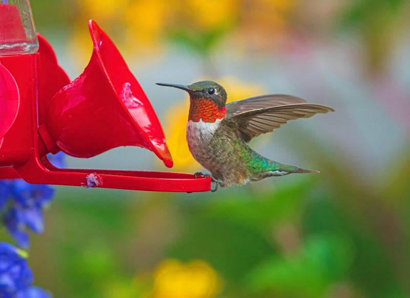 Hummingbird 002