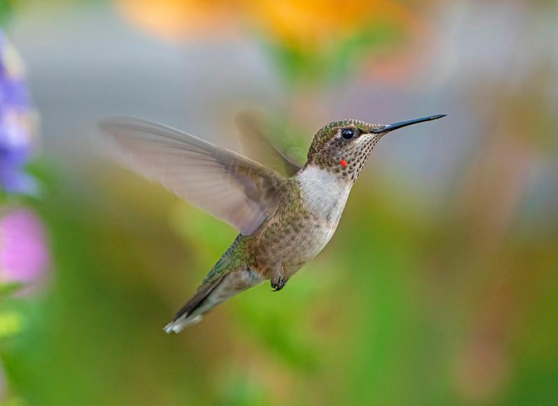 Hummingbird 001