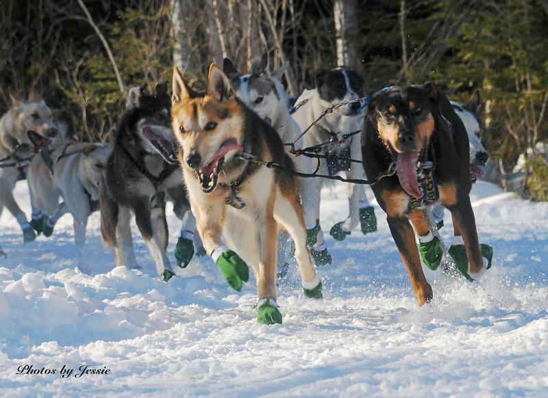 John Beargrease Sled Dog Marathon 006