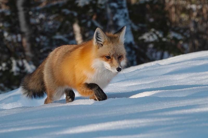 Red Fox 005