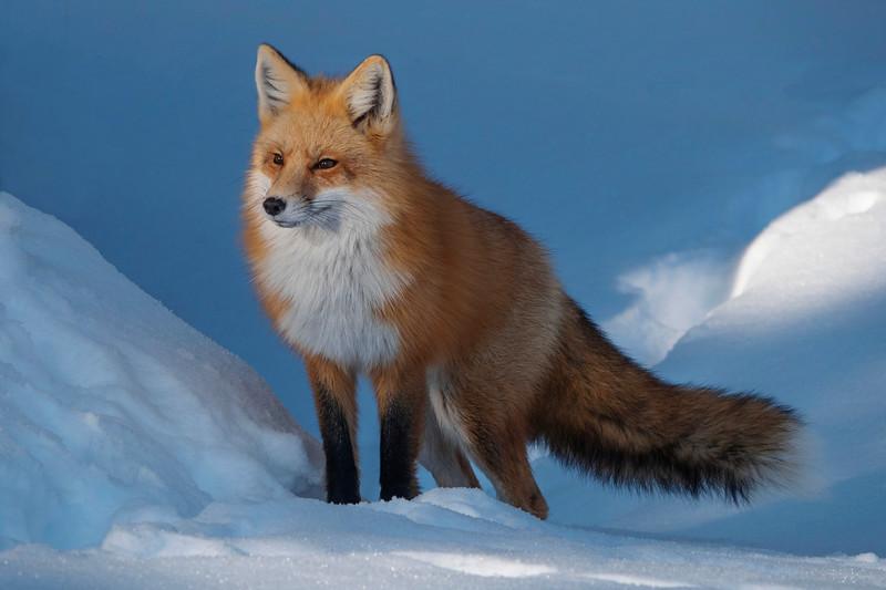 Red Fox 008