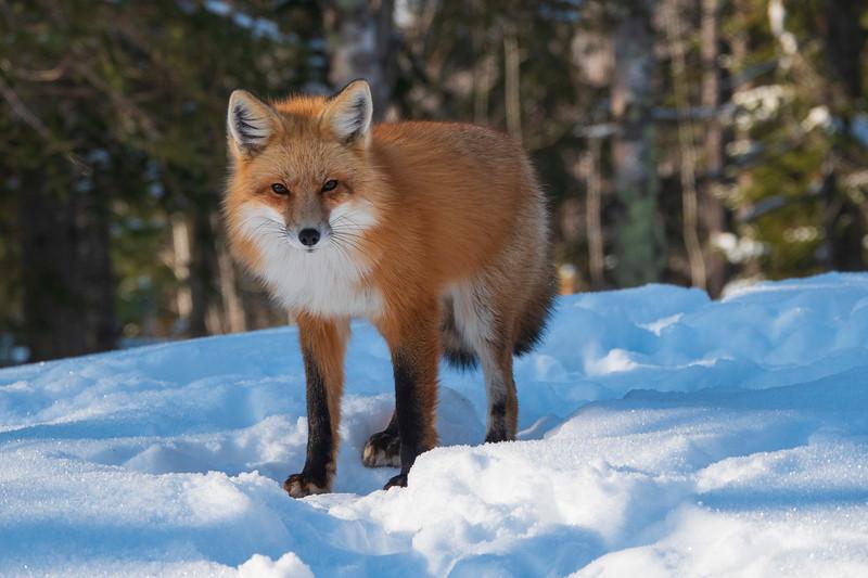 Red Fox 006