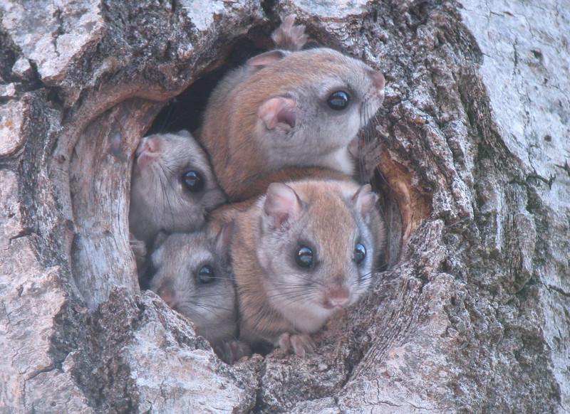 Flying Squirrels 004