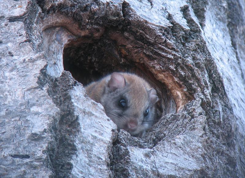 Flying Squirrels 001