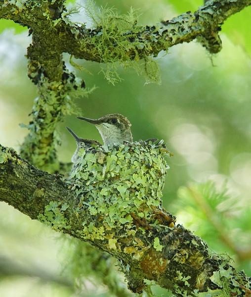Hummingbird Nest 001