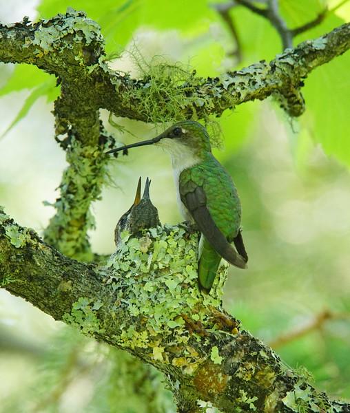 Hummingbird Nest 004